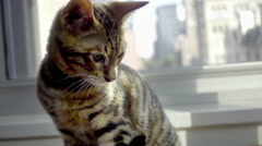 Adorable tiger kitten looking up on window sill in city apartment in HD Stock Footage