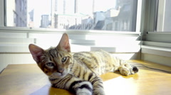 Kitten lying on window sill in New York City apartment - striped Toyger kitty Stock Footage