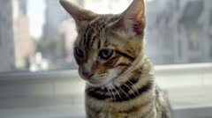 Toyger cat face up close, turning head by window in NYC apartment Stock Footage