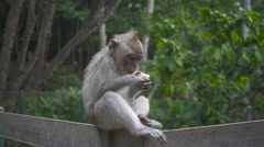 Monkey Eats a Crust of Bread Sitting on the Fence in the Forest. Slow Motion Stock Footage