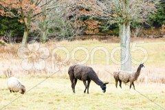 Alpacas, Maine, USA Stock Photos