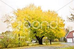 Autumnal tree, Maine, USA Stock Photos