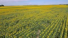 Flight over the sunflower field Stock Footage