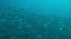 Big-eye Trevallies in blue water Stock Footage