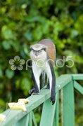Monkey in Grand Etang National Park, Grenada Stock Photos