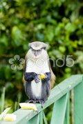 Monkey with banana in Grand Etang National Park, Grenada Stock Photos
