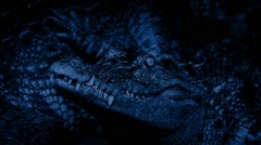 Baby Crocodile Alert At Night Stock Footage