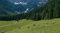 Aerial - Tilt up from cows pasturing on green field to scenic Alpine mountains Stock Footage