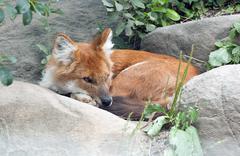 Asiatic Wild Dog Stock Photos
