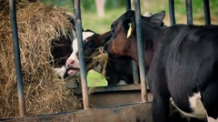 Cows At Cattle Feeder Eating Hay Stock Footage