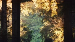 Forest Trees Glow In Evening Sunlight Stock Footage