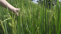 Woman's Hand Stroking the Stalks of Rice. Slow Motion Stock Footage