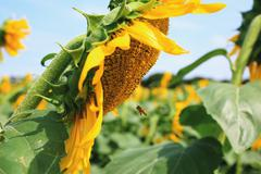 Bee flying on a sunflower Stock Photos