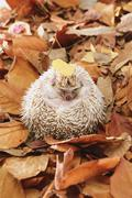Hedgehog on fallen leaves Stock Photos