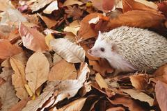 Hedgehog on fallen leaves Stock Photos