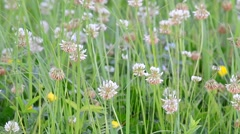 White clover flowers on a green field Stock Footage