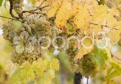 Vineyard Jecmeniste, Eko Hnizdo, Czech Republic Stock Photos
