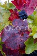 Grapevines in vineyard Jecmeniste, Eko Hnizdo, Czech Republic Stock Photos