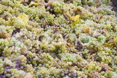 Wine harvest, Eko Hnizdo, Czech Republic Stock Photos