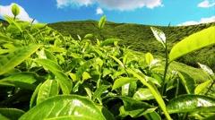 Beautiful views of the tea plantations Boh, Cameron haylonds, Malaysia. Stock Footage