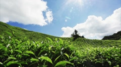 Beautiful views of the tea plantations, the frame can be seen the sun's rays. Stock Footage