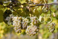 Grapevines in vineyard, Czech Republic Stock Photos