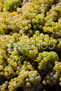 Wine harvest (riesling), Czech Republic Stock Photos