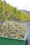Wine harvest, vineyard near Bernkastel, Rheinland Pfalz, Germany Stock Photos
