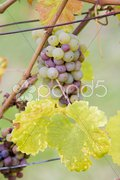 Grapes (Weiser Riesling), Germany Stock Photos