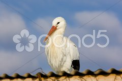 Storks breeding (Centre de R Stock Photos