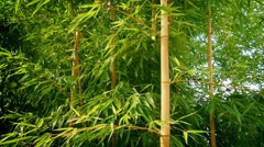 Bamboo In Breeze On Sunny Day Stock Footage