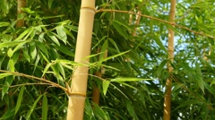 Bamboo Plants In Breeze Stock Footage