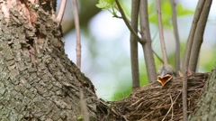 Bird Thrush Fieldfare (Turdus pilaris) feeding chicks in the nest Stock Footage