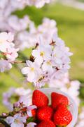 Strawberries and cherry blossoms Stock Photos