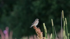 Nestling Whinchat (Saxicola rubetra) sitting on a branch Stock Footage