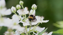 Bumblebee collects nectar on the flowers of blackberry Stock Footage