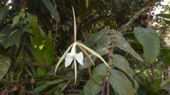 Orchid Epidendrum latifolium Stock Footage