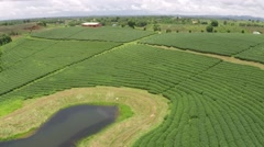 Aerial Shot of Tea Farm Chiang Rai Stock Footage