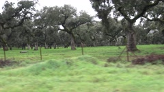 4K Spanish Hogs Eating Acorn a good day of winter with Sun's Rays in field-Dan Stock Footage