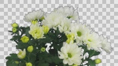 Time-lapse of opening white chrysanthemum flower with ALPHA channel Stock Footage