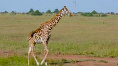 MASAI GIRAFFE WALKING NAIROBI KENYA AFRICA Stock Footage