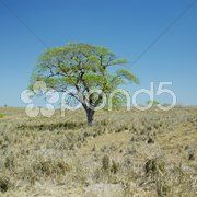 Lonely tree, Camaguey Province, Cuba Stock Photos