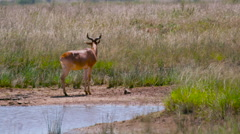 HARTEBEEST WALKING NEAR WATER NAIROBI KENYA AFRICA Stock Footage