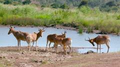 HARTEBEEST AT WATER HOLE NAIROBI KENYA AFRICA Stock Footage