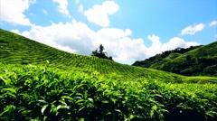 Beautiful views of the tea plantations Boh, Cameron Highlands, Malaysia. Stock Footage
