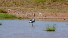GREY CROWNED CRANE WATER NAIROBI KENYA AFRICA Stock Footage