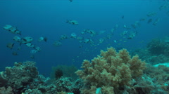 4k School of Midnight Snapper on a coral reef Stock Footage