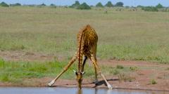 MASAI GIRAFFE DRINKING WATER NAIROBI KENYA AFRICA Stock Footage