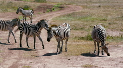 5 BURCHELL'S ZEBRA ON TRACK NAIROBI KENYA AFRICA Stock Footage