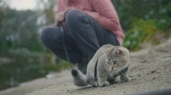 British Shorthair Tabby cat in collar walking on sand outdoor - plays with sprig Stock Footage